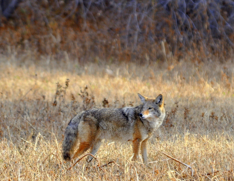 Coyote | Bosque Del Apache | November 2009