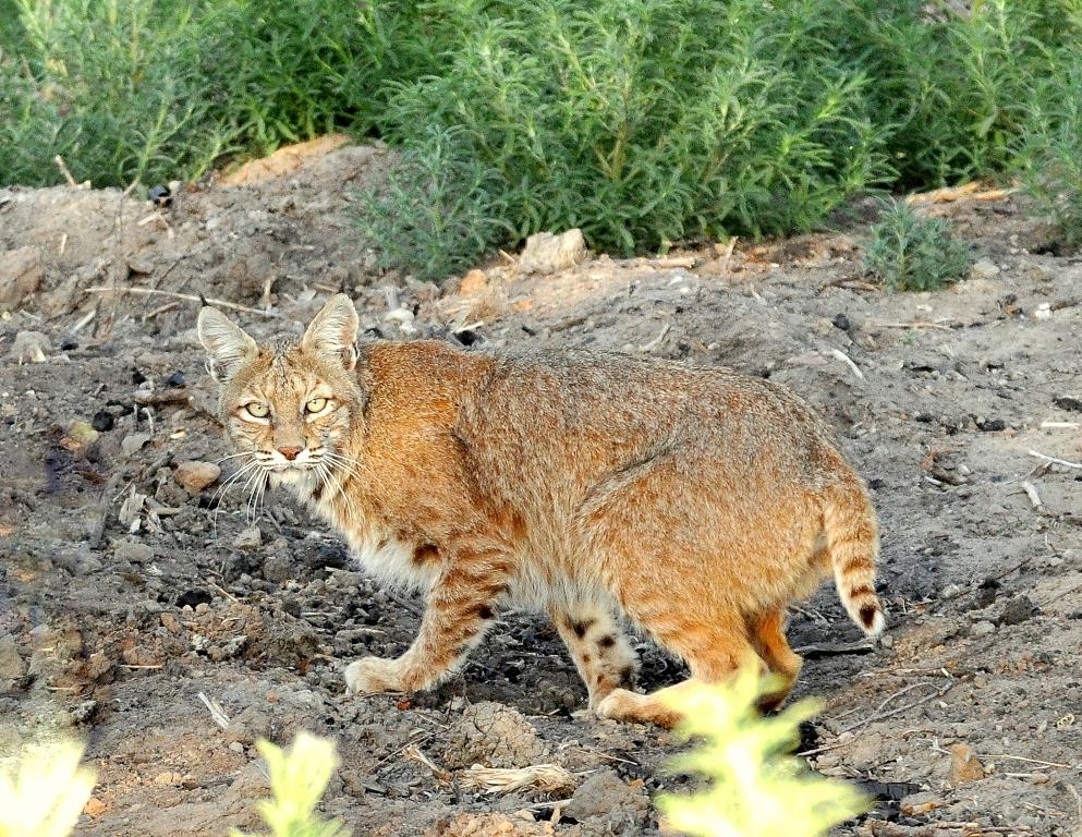 Bobcat | Bosque del Apache | June, 2010