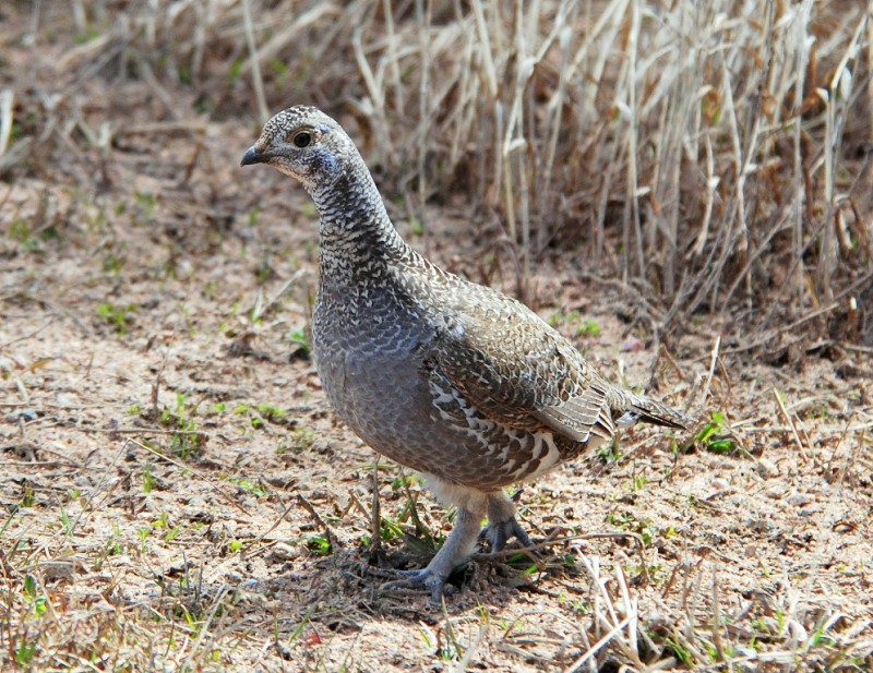 Blue Grouse – Female | Burgess Junction, Wyoming | May, 2011