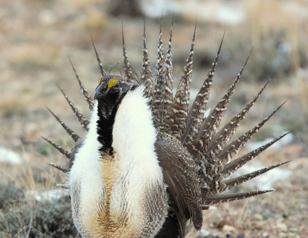 Greater Sage Grouse –  Male | Walden, Colorado | April, 2009