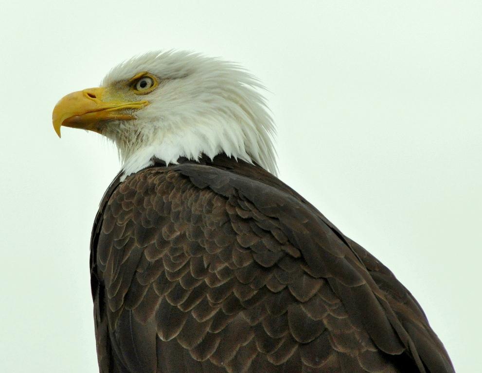 Bald Eagle   Homer, Alaska   June, 2011