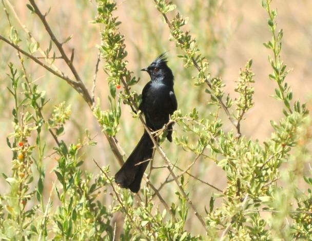Phainopepla – Male | Bosque del Apache | May, 2010