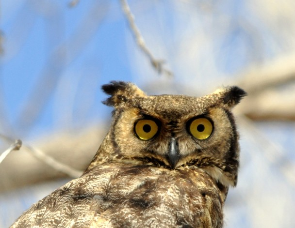 Great Horned Owl | Lordsburg, New Mexico | December, 2011
