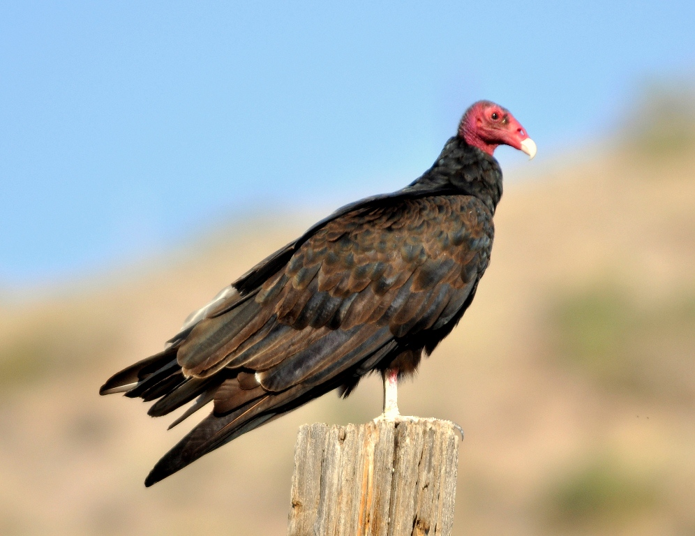 Turkey Vulture | Lordsburg, New Mexico | September, 2011