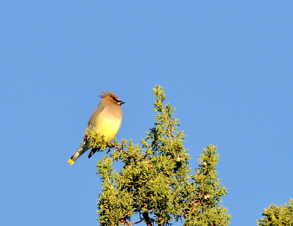 Cedar Waxwing | Lordsburg, New Mexico | November, 2011