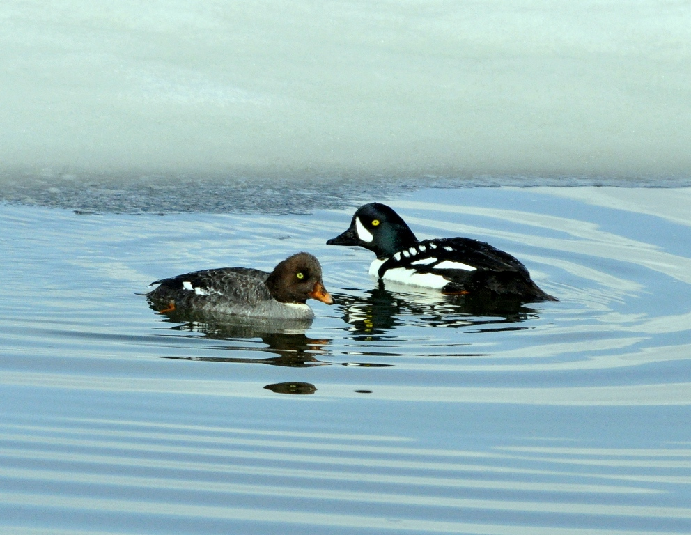 Barrow's Goldeneye – Male and Female | Yellowstone National Park | May, 2011