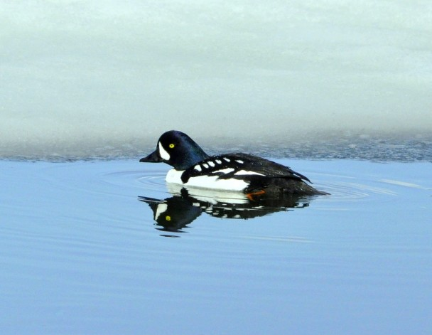 Barrow's  Goldeneye – Male | Yellowstone National Park | May,2011