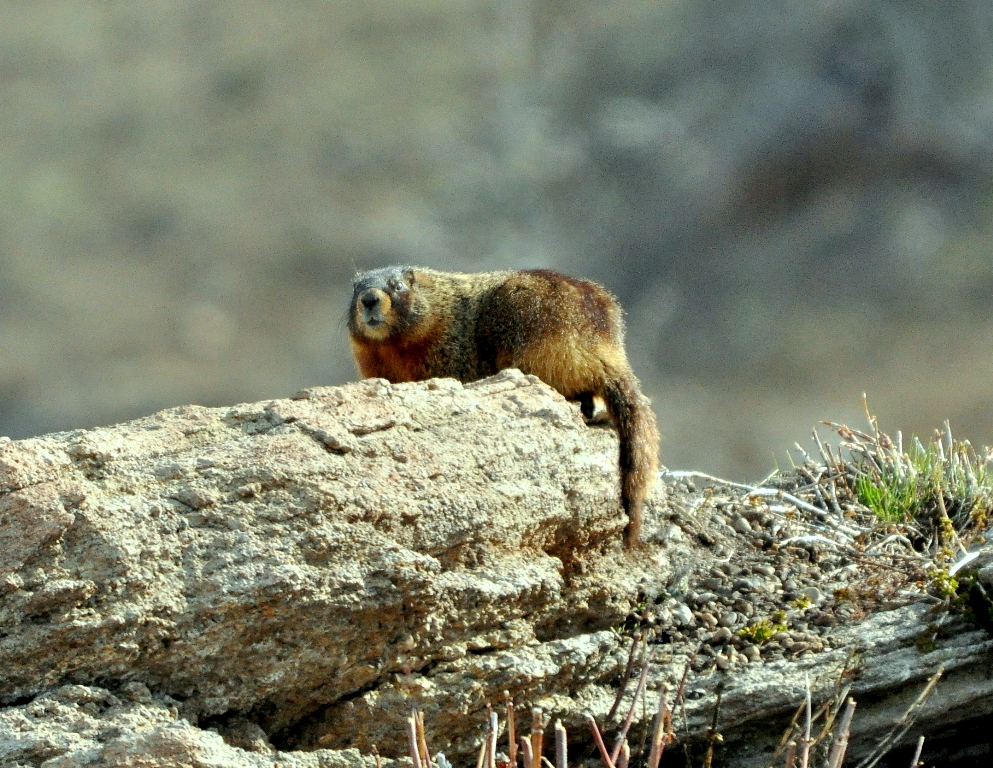 Marmot – Yellow-bellied | Yellowstone National Park | May, 2011