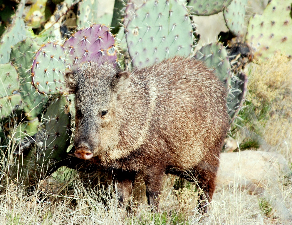 Javelina | Lordsburg, New Mexico | March, 2009