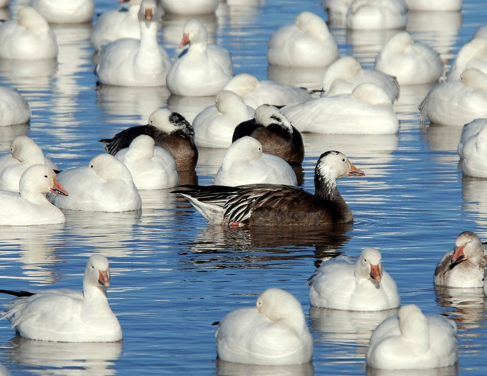 Snow Geese | Bosque del Apache | February, 2009