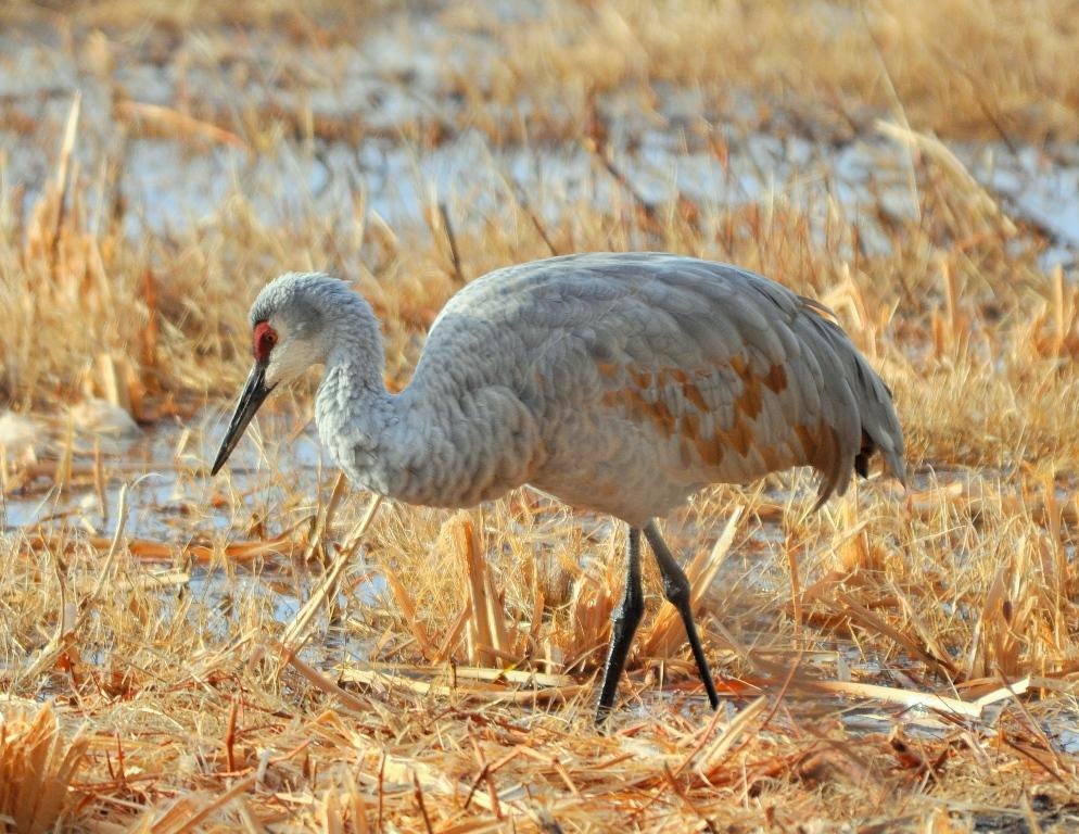 Sandhill Crane | Bosque del Apache | November, 2009