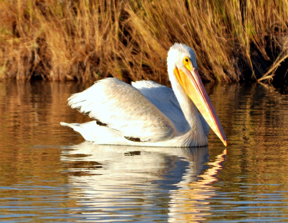 American White Pelican | Bear River Bird Refuge | September, 2010