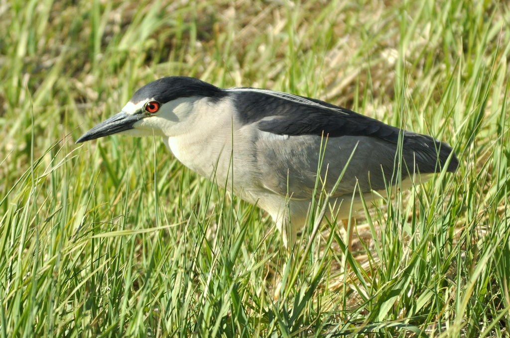 Black-crowned Night-Heron | Walden, Colorado | June, 2011