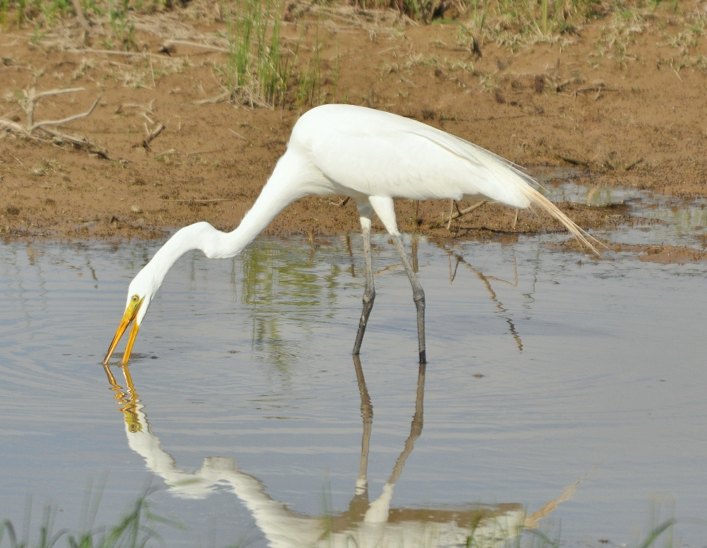 Great Egret | Bosque del Apache | July, 2010