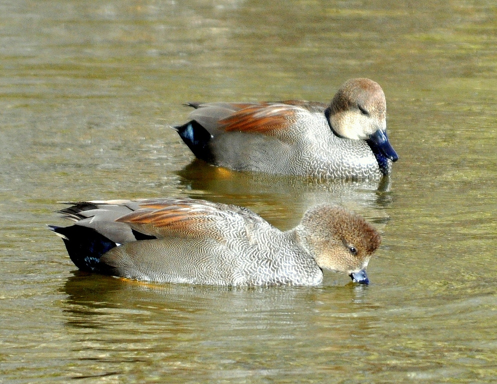 Gadwalls – Males | Albuquerque, New Mexico | December, 2010