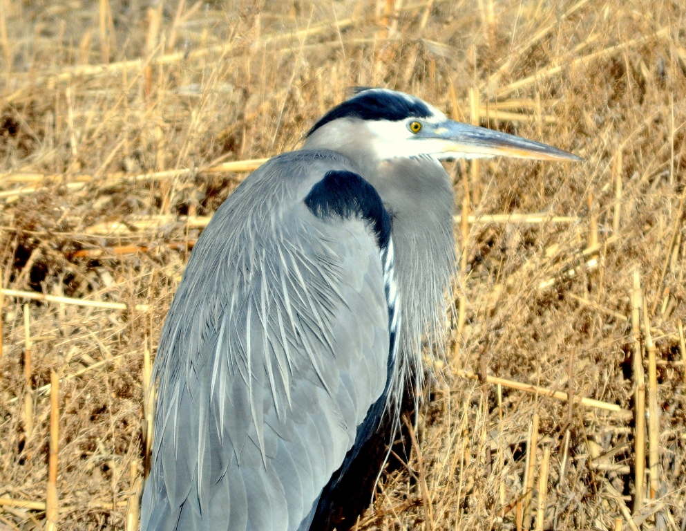 Great Blue Heron | Bosque del Apache | January, 2010