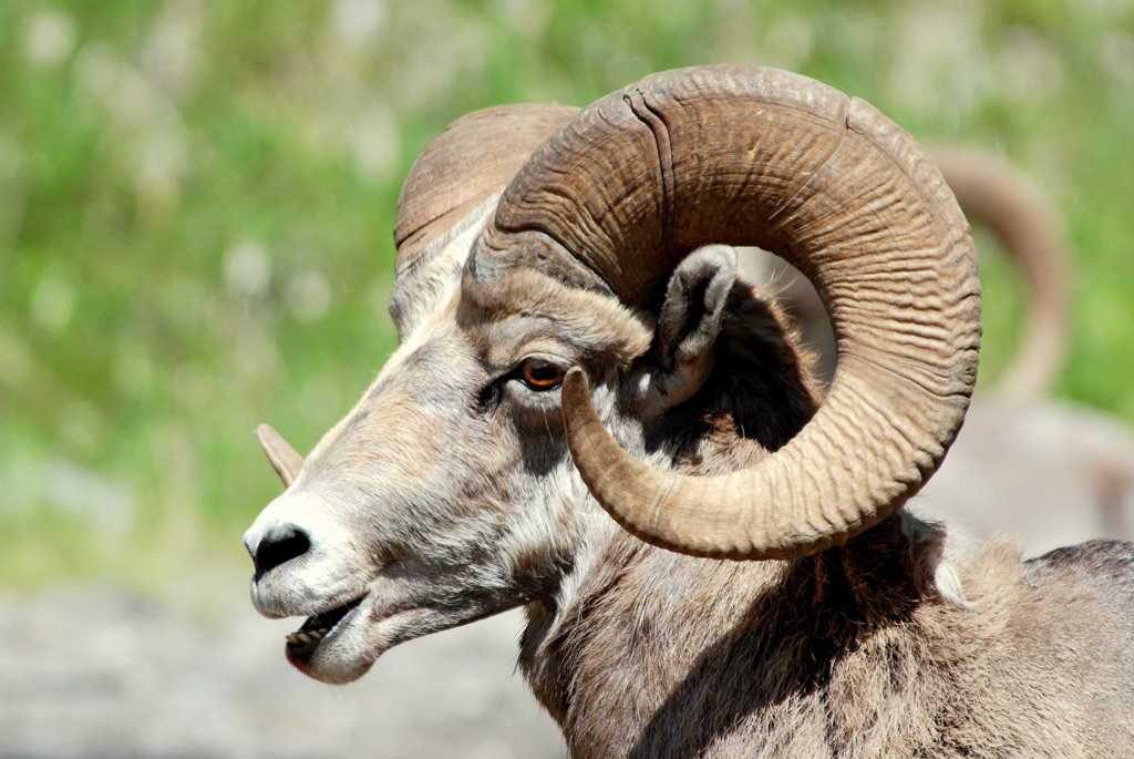 Bighorn Sheep – Ram | Radium Hot Springs, British Columbia | June, 2009