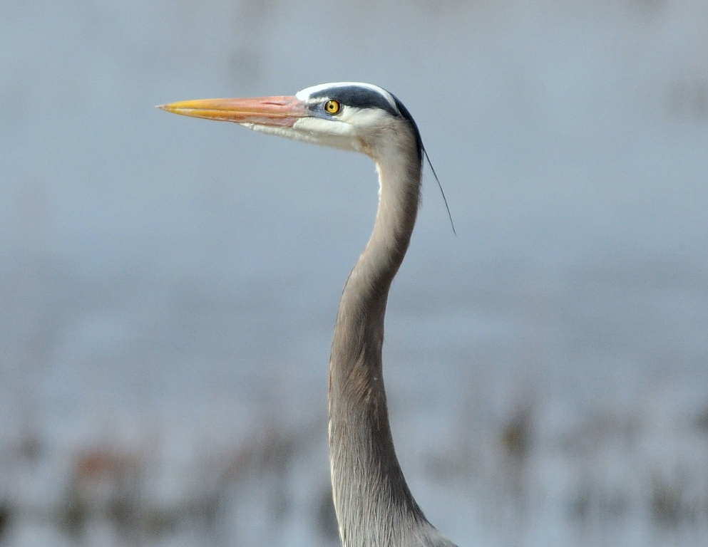 Great Blue Heron | Bosque del Apache | May, 2010