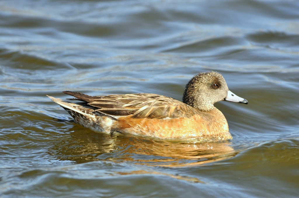 American Wigeon – Female | Albuquerque, New Mexico | March, 2011