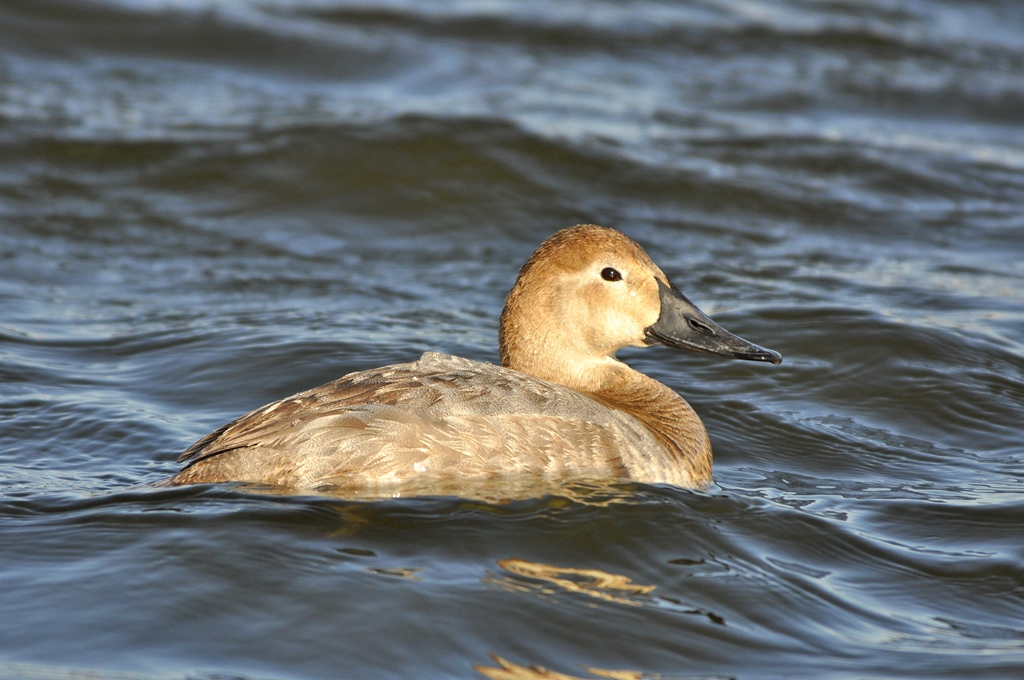 Canvasback – Female | Albuquerque, New Mexico | March, 2011