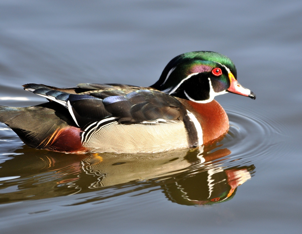 Wood Duck – Male | Albuquerque, New Mexico | March, 2011