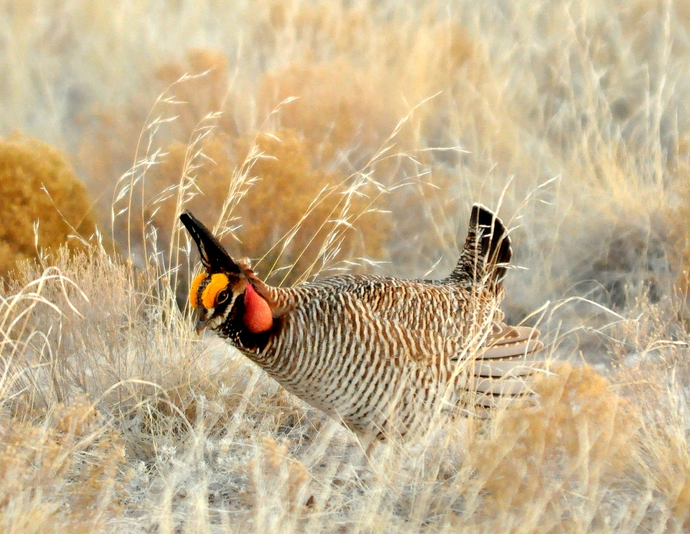 Lesser Prairie-Chicken – Male | Roswell, New Mexico | April, 2011