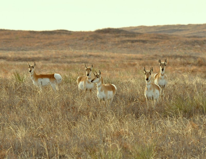 Pronghorns | Roswell, New Mexico | April, 2011
