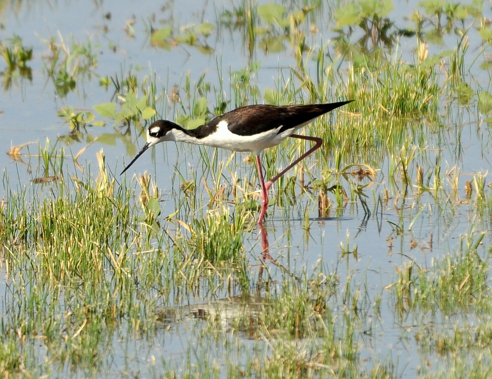 Black-necked Stilt – Male | Bosque del Apache | June, 2010