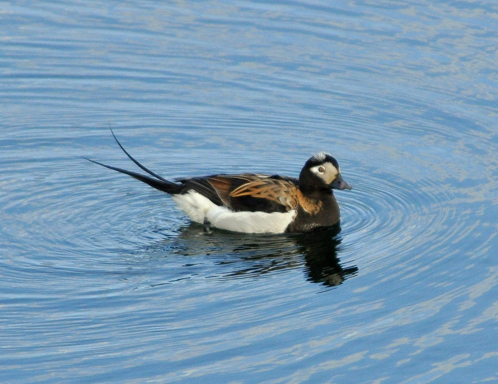 Long-tailed Duck – Male | Dawson City, Yukon Territory | June, 2011