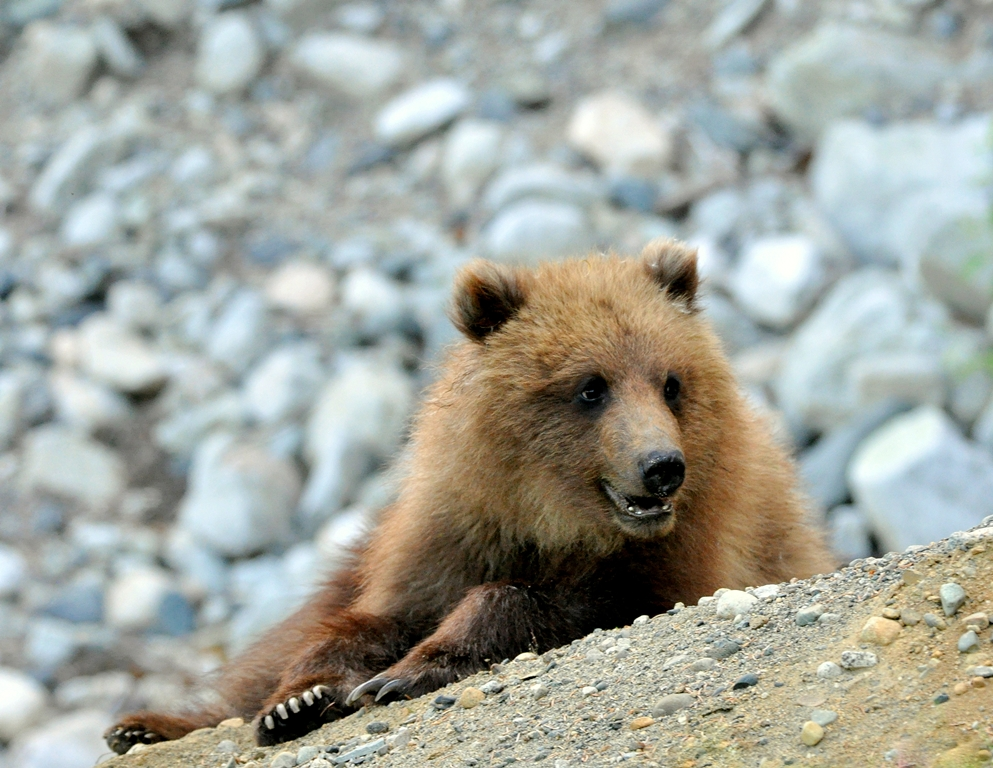Brown Bear – Cub | Haines, Alaska | June, 2011
