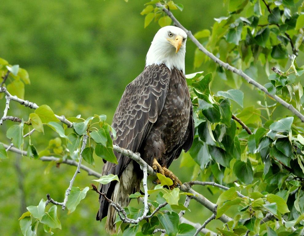 Bald Eagle   Haines, Alaska   June, 2011