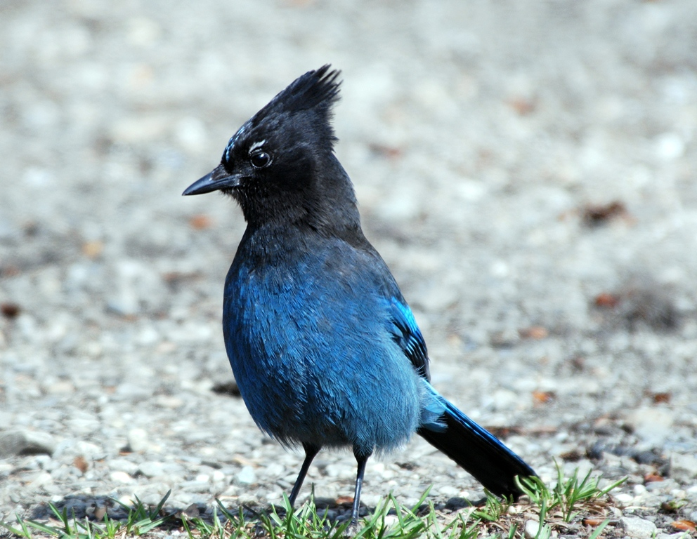 Steller's Jay  | Chetwynd, British Columbia | May, 2009