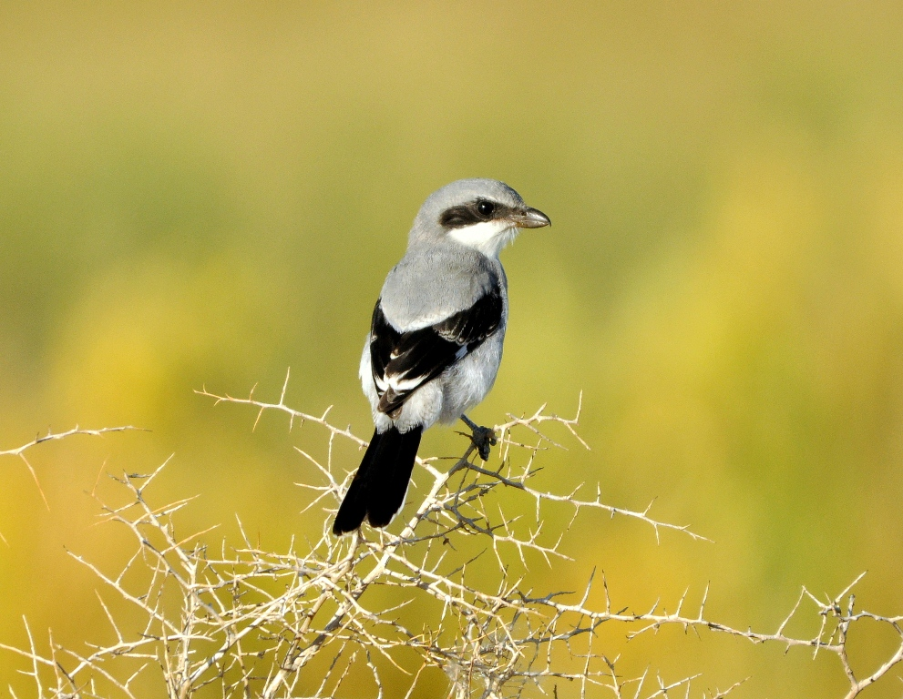 Loggerhead Shrike | Alamosa, Colorado | September, 2010