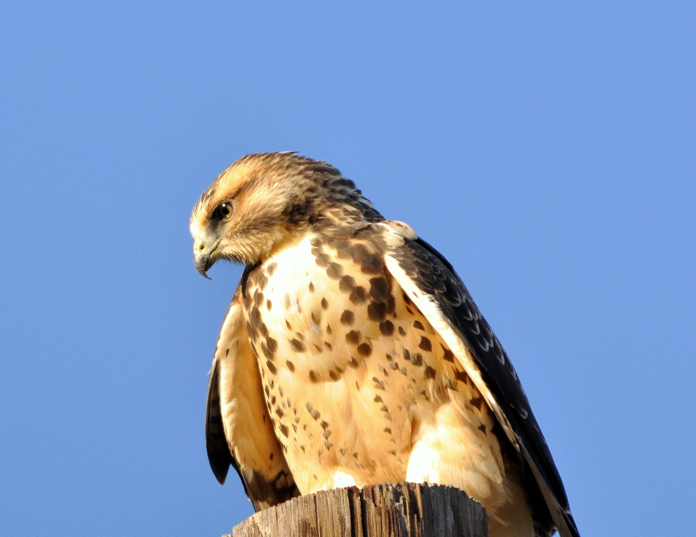 Swainson's Hawk – Immature | Alamosa, Colorado | September, 2010