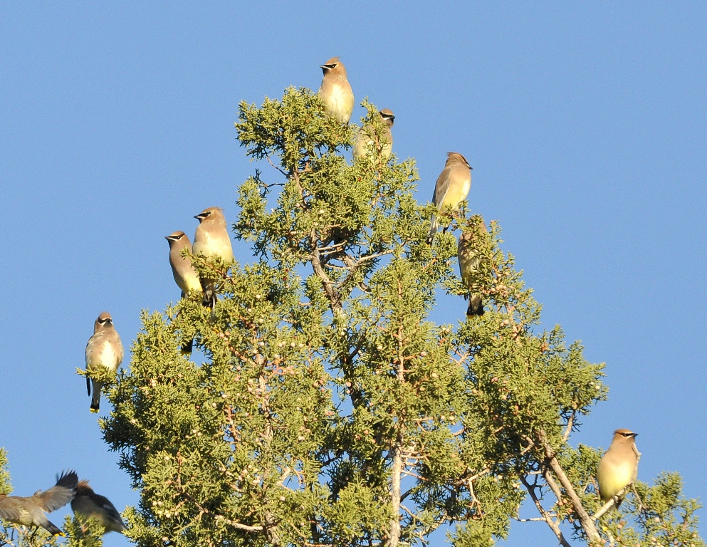Cedar Waxwings | Lordsburg, New Mexico | November, 2011