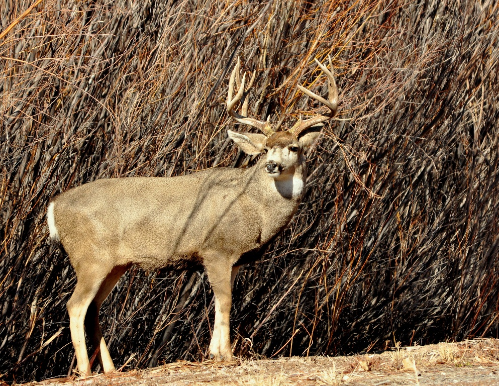 Mule Deer – Buck | Bosque del Apache | January, 2012