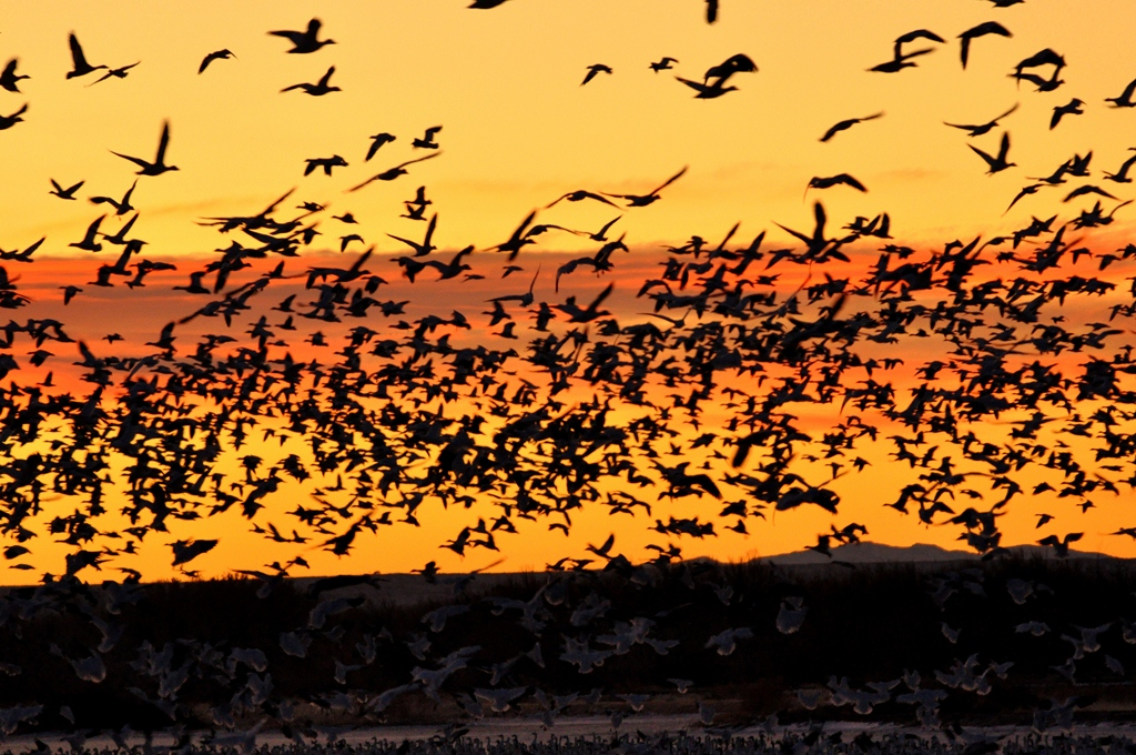 Snow Geese | Bosque del Apache | December, 2011