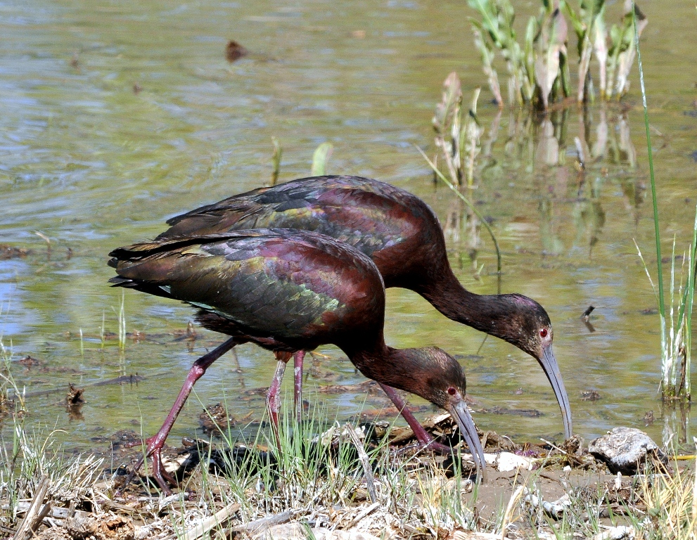 White-faced Ibis | Bosque del Apache | April, 2011