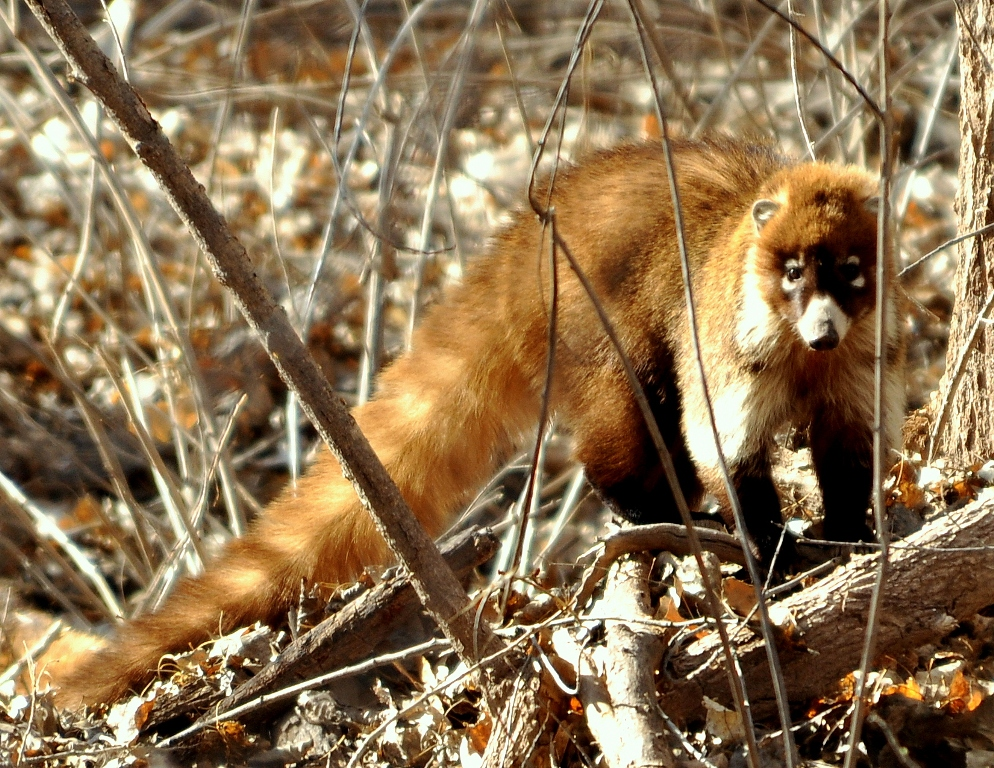 Coatimundi | Lordsburg, New Mexico | March, 2012