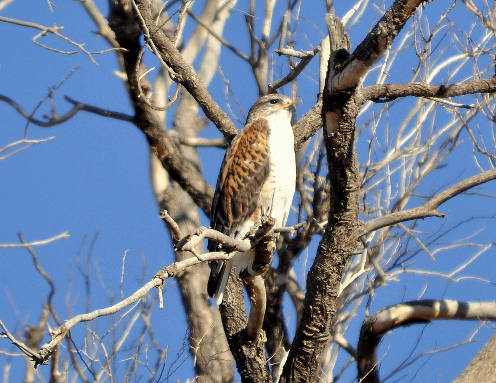 Ferruginous Hawk | Estancia, New Mexico | February, 2012