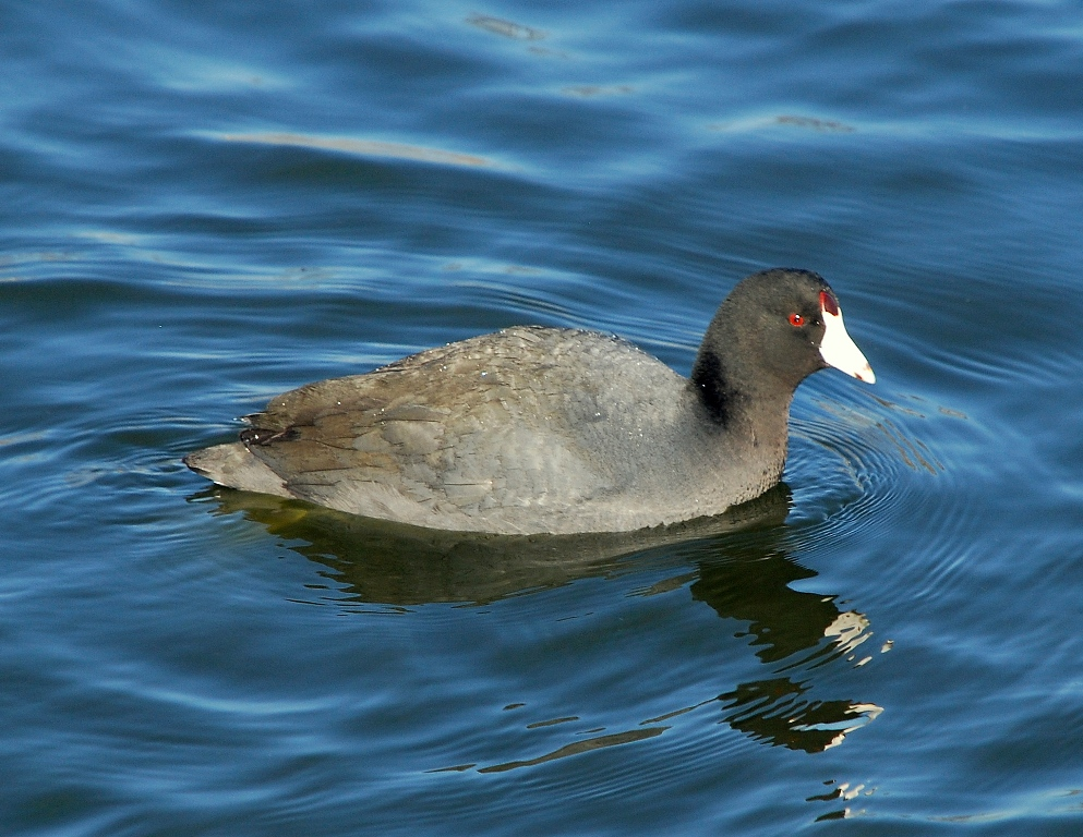American Coot | Albuquerque, New Mexico | February, 2012