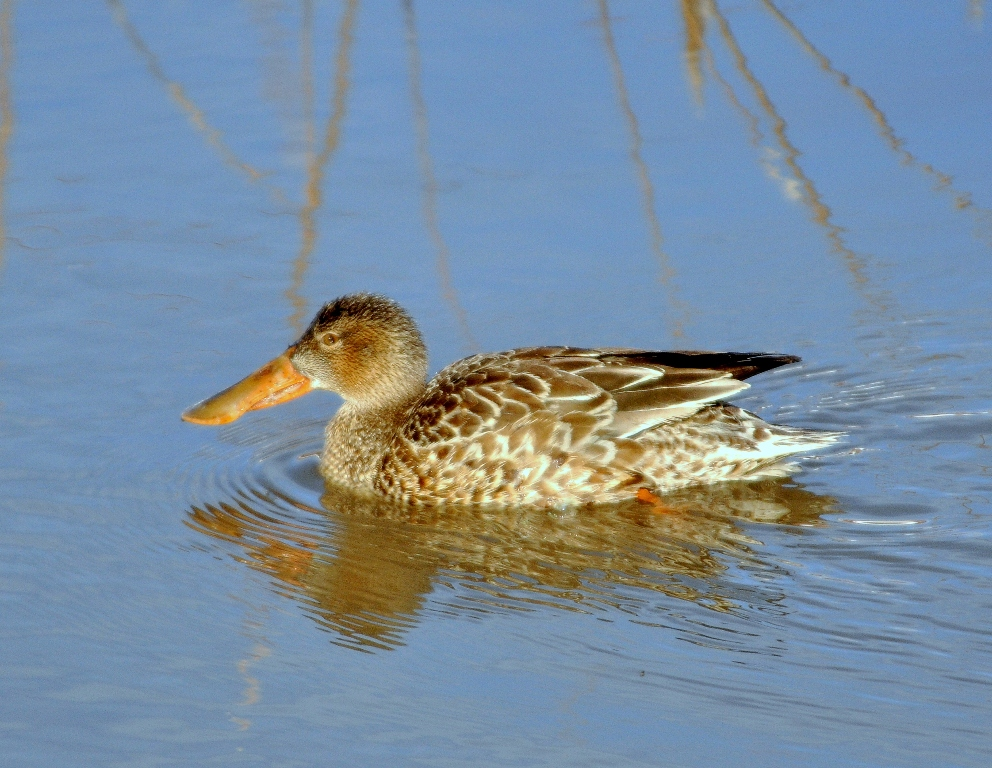 Northern Shoveler – Female | Bosque del Apache | December, 2011