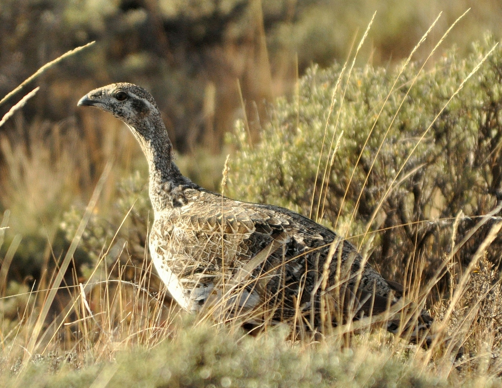 Greater Sage Grouse – Female | Walden, Colorado | October, 2011