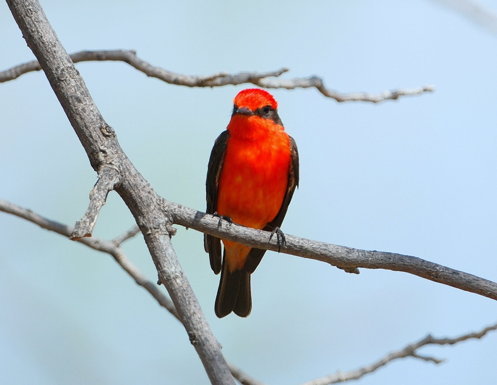 Vermilion Flycatcher – Male | Carlsbad, New Mexico | April, 2012