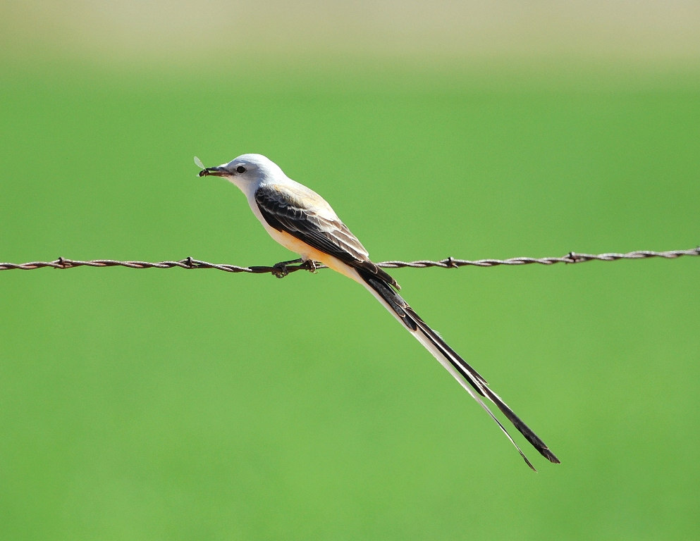 Scissor-tailed Flycatcher – Male | Carlsbad, New Mexico | April, 2012