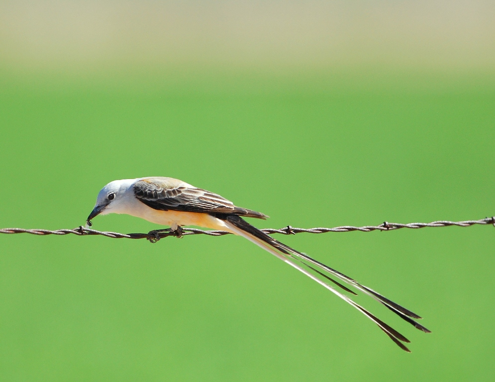 Scissor-tailed Flycatcher | Carlsbad, New Mexico | April, 2012