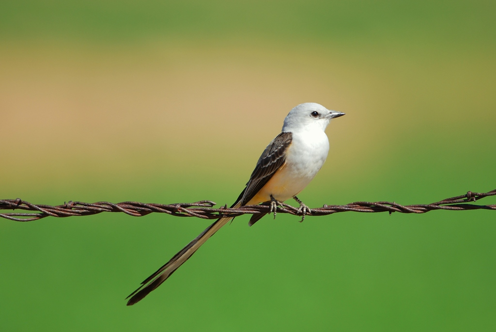 Scissor-tailed Flycatcher – Female | Carlsbad, New Mexico | April, 2012