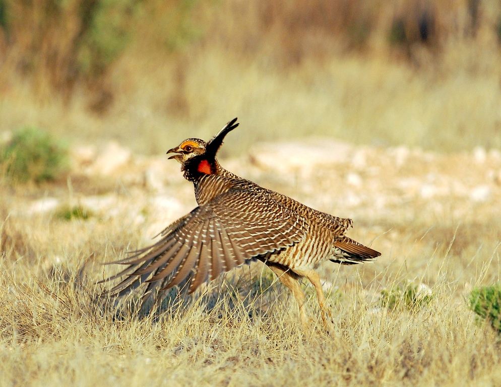 Lesser Prairie-Chicken – Male | Roswell, New Mexico | April, 2012