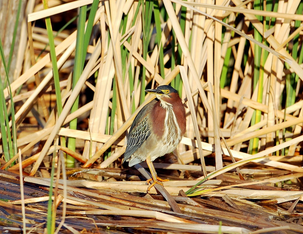 Green Heron | Bosque del Apache | April, 2012
