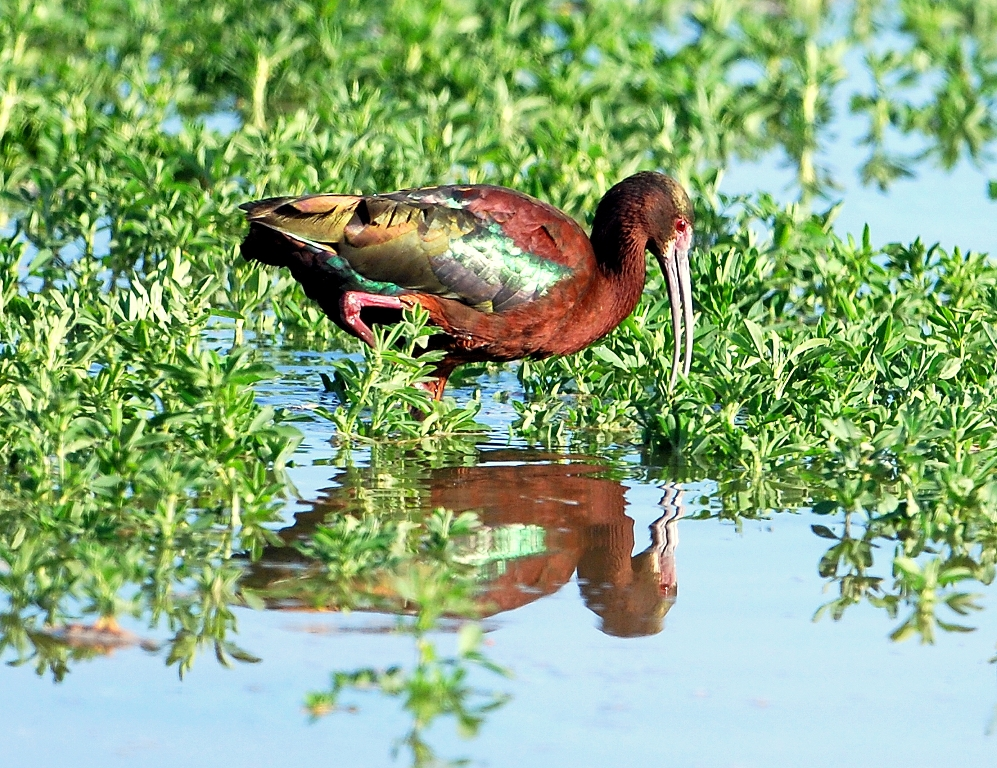 White-faced Ibis | Bosque del Apache | April, 2012